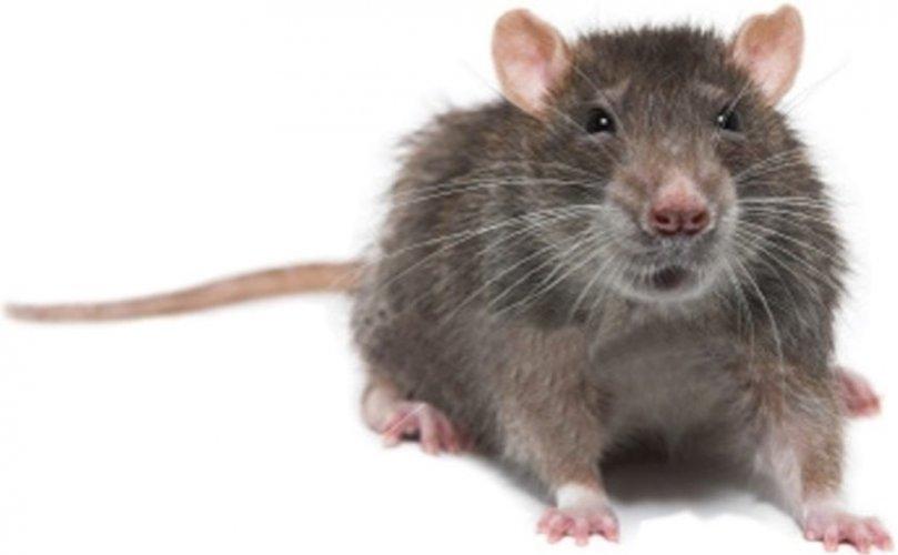 Faire disparaitre sa phobie des rats avec l'Hypnose