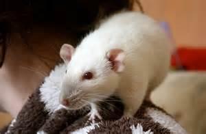 L'hypnose en remède à la phobie des rats